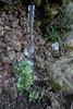 Arabis caucasica, N rocks, near Roque de los Muchachos, 2400m, Parque Nacional de la Caldera de Taburiente