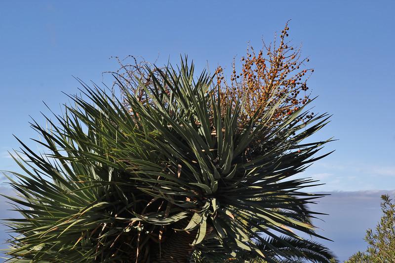 Dracaena draco, near Tinizara, LP 1