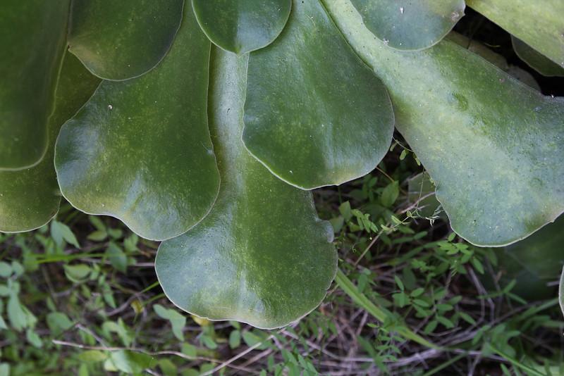 Aeonium palmense, leaves pilose, Barranco de las Angustias, route PR LP 13.1 in the South of Parque Nacional de la Caldera de Taburiente