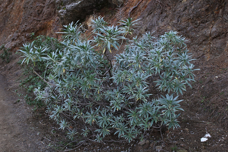 Echium webbii, La Cumbrecita 1287m, SE of Parque Nacional de la Caldera de Taburiente