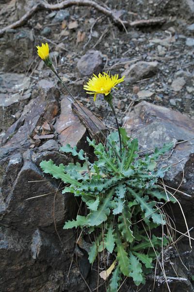 Reichardia ligulata,  La Cumbrecita 1287m, SE of Parque Nacional de la Caldera de Taburiente