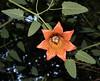 Canarina canariensis, Los Tilos, ~900m, route PR.LP 6 (K)