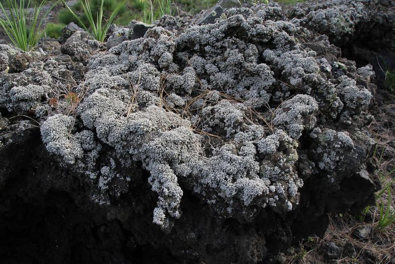 Stereocaulon vesuvianum, (NL:Grof korrelloof), Southern part of LP 2