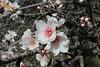 Prunus dulcis, (NL: amandel), near El Pinar, PR LP 10, SE of Tijarafe