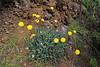Reichardia ligulata, NW of Tijarafe 663m, near Casas del Tabladito, GR 130