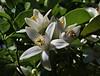 Citrus × sinensis, native to SE Asia, junction LP2 and LP 210, S of San Nicolas de Abajo (L)