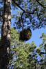 Witches'-broom in Pinus canariensis , La Cumbrecita 1287m, SE of Parque Nacional de la Caldera de Taburiente