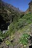 Aeonium nobile and A. calderense?, Barranco de las Angustias, route PR LP 13.1 in the South of Parque Nacional de la Caldera de Taburiente