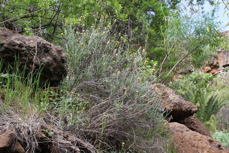 Phagnalon purpurascens, NW of Tijarafe 663m, near Casas del Tabladito, GR 130