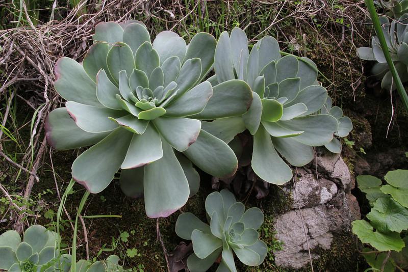 Greenovia diplocycla, near El Pinar SE of Tijarafe