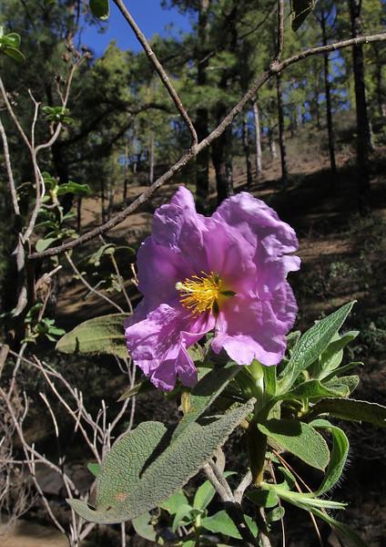 Cistus symphytifolius, La Cumbrecita 1287m, SE of Parque Nacional de la Caldera de Taburiente