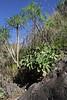 Aeonium davidbramwellii, Barranco de las Angustias, route PR LP 13.1 in the South of Parque Nacional de la Caldera de Taburiente
