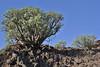 Euphorbia balsamifera, S of Fuencaliente (Los Canarios) LP207
