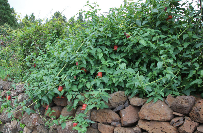 Canarina canariensis, in cultivation, Camp Los Rosas 960m, Puntagorda