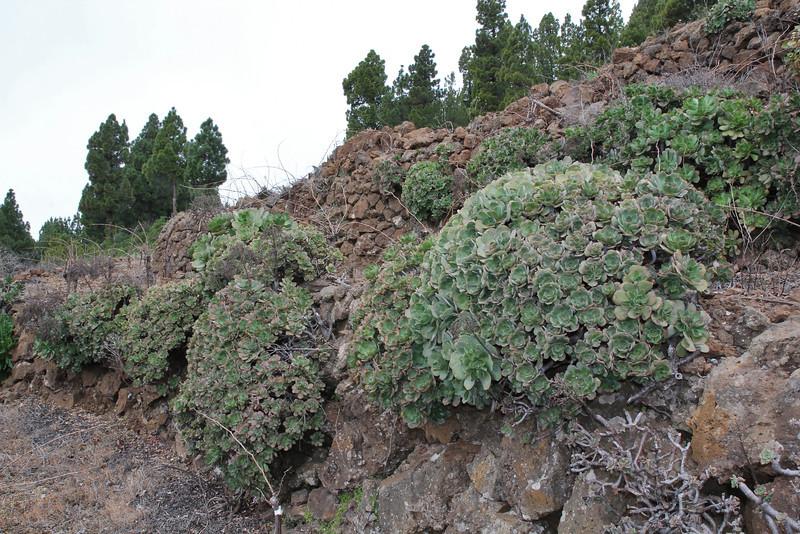 Aeonium davidbramwellii, vineyard near Torre del Time, S of Hoya Grande 1387m
