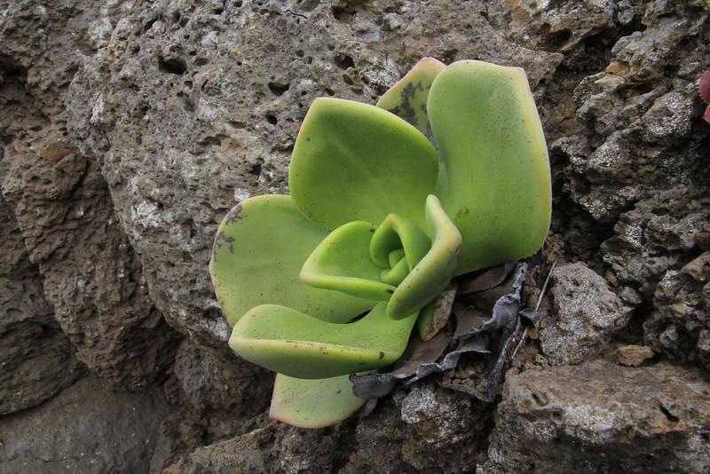 Aeonium nobile, near Torre del Time, S of Hoya Grande 1387m
