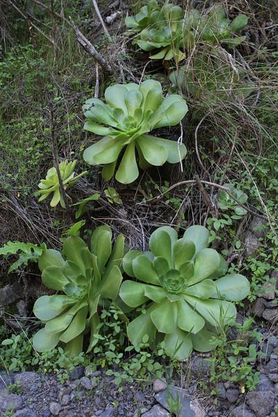 Aeonium palmense, Barranco de las Angustias, route PR LP 13.1 in the South of Parque Nacional de la Caldera de Taburiente