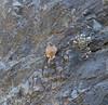 Falco tinnunculus canariensis, Barranco de las Angustias, route PR LP 13.1 in the South of Parque Nacional de la Caldera de Taburiente