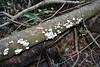 'Schizophyllum commune, (NL: Waaiertje) Los Tilos, ~900m, route PR.LP 6 (K)