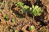 Aeonium palmense?, S of Punta Gorda