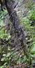 Aeonium vestitum, with old dead leaves on the stem, NW of Tijarafe 663m, near Casas del Tabladito, GR 130