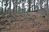 Habitat of Aeonium spathulatum var. cruentum, Montana del Pino, growing in Pinus canariensis forrest