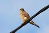 Falco tinnunculus ssp canariensis, Canarien Kestrel, (NL: Canarische torenvalk), NW of Tijarafe 663m, near Casas del Tabladito, GR 130