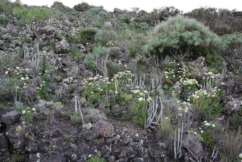 Habitat of Ceropegia hians and Aeonium davidbramwellii, S of Fuencaliente (Los Canarios) LP207