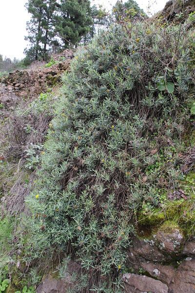 Senecio palmensis, near El Pinar SE of Tijarafe