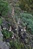 Asphodelus microcarpus, syn. A. aestivus, S of Fuencaliente (Los Canarios) LP207