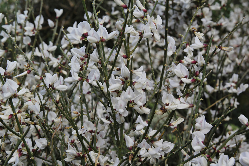 Spartocytisus filipes, Southern part of LP 2
