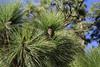 Pinus canariensis forest, La Cumbrecita 1287m, SE of Parque Nacional de la Caldera de Taburiente