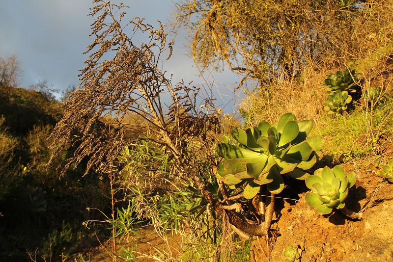 Aeonium davidbramwellii, and flower stem, S of Punta Gorda