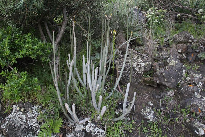 Ceropegia hians, S of Fuencaliente (Los Canarios) LP207