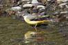 Motacilla cinerea canariensis, Canarian Grey Wagtail, (NL: Canarische grote gele kwikstaart), Barranco de las Angustias, route PR LP 13.1 in the South of Parque Nacional de la Caldera de Taburiente