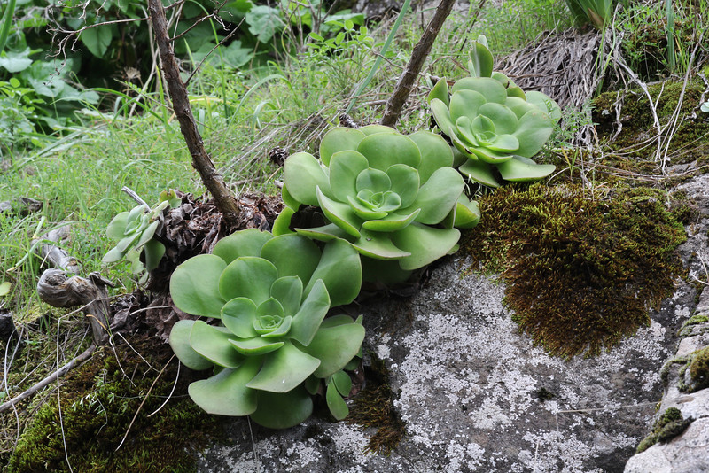 Aeonium palmense, near El Pinar SE of Tijarafe