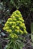Aeonium holochrysum, Barranco de las Angustias, route PR LP 13.1 in the South of Parque Nacional de la Caldera de Taburiente
