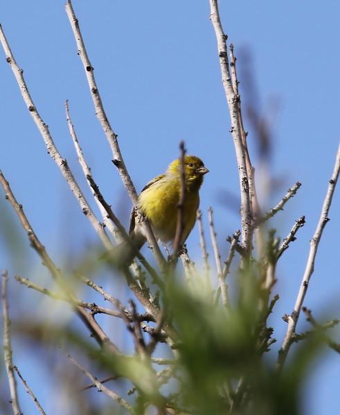 Serinus canaria, Atlantic Canary, near El Pinar, PR LP 10, SE of Tijarafe