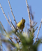 Serinus canaria, Atlantic Canary, near El Pinar, PR LP 10, SE of Tijarafe