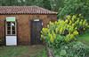 Camp Los Rosas 960m, Puntagorda with cultivated gardenplant Aeonium holochrysum