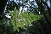 Trichomanes speciosum, Killarney Fern, Prächtiger Dünnfarn, Los Tilos, ~900m, route PR.LP 6 (K)