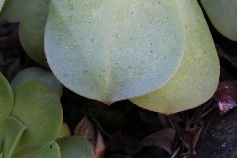 Aeonium calderense, Barranco de las Angustias, route PR LP 13.1 in the South of Parque Nacional de la Caldera de Taburiente