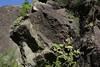 Aeonium palmense and one plant of A.nobile, Barranco de las Angustias, route PR LP 13.1 in the South of Parque Nacional de la Caldera de Taburiente