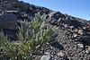 Pterocephalus porphyranthus?? blad klopt niet??, near Mirador Degollada de Franceses, LP4, Parque Nacional de la Caldera de Taburiente
