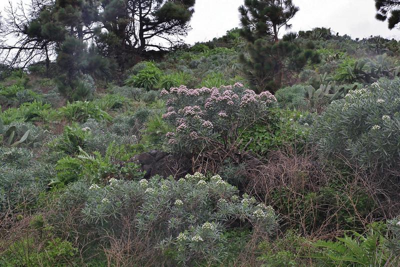 Echium brevirame (pink coloured variety), S of Funcaliente