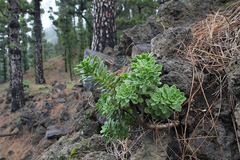 Aeonium spathulatum var. cruentum, Montana del Pino, in Pinus canariensis forrest