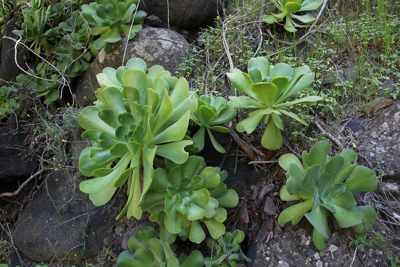Aeonium hybride (left) and Aeonium palmense (palmense=pilose) (right), Barranco de las Angustias, route PR LP 13.1 in the South of Parque Nacional de la Caldera de Taburiente