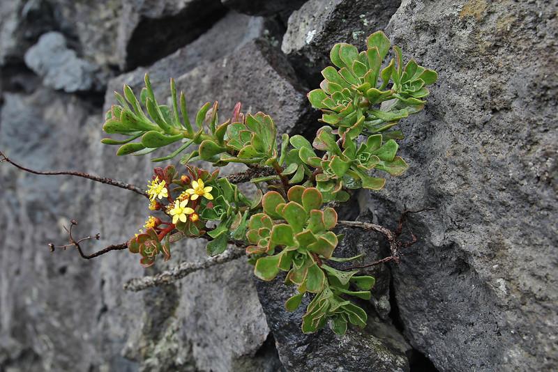 Aeonium spathulatum var. cruentum, along LP 2, near Monte de Luna (E-coast)