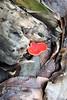 Sarcoscypha coccinea, (NL: Rode kelkzwam), Los Tilos, ~900m, route PR.LP 6 (K)