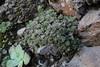 Monanthes polyphylla, Barranco de las Angustias, route PR LP 13.1 in the South of Parque Nacional de la Caldera de Taburiente